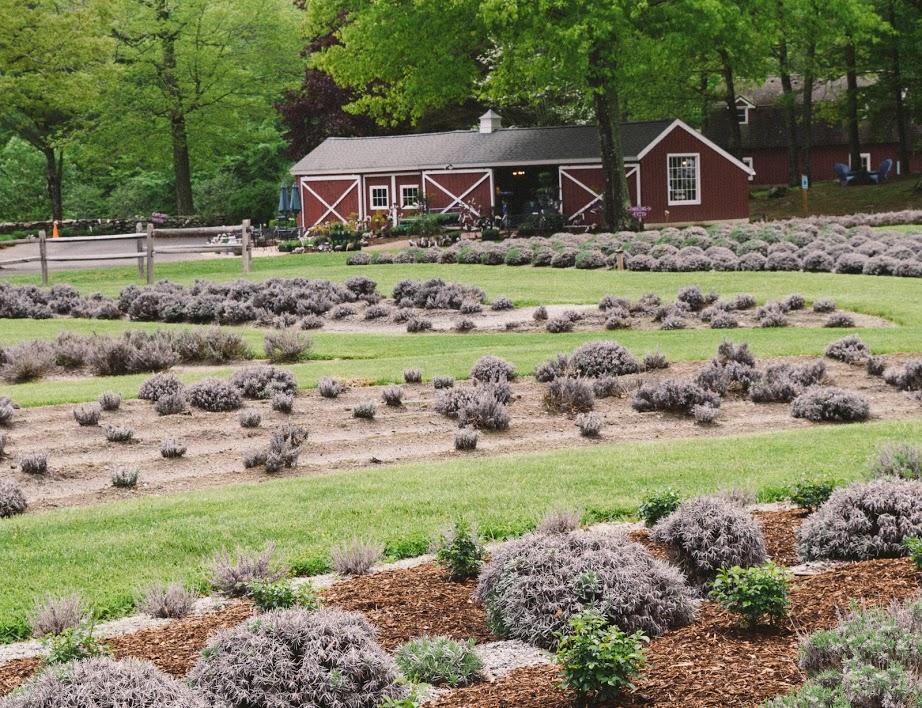 A New England Lavender Farm (Killingworth, CT) - On a Voyage